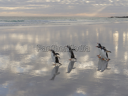 gentoo penguin pygoscelis papua on the