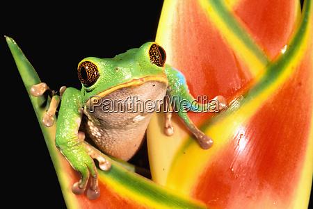 south america ecuador amazon tree frog