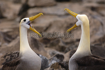 waved albatross phoebastria irrorata pair in