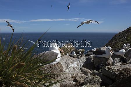 nesting black browed albatross saunders island