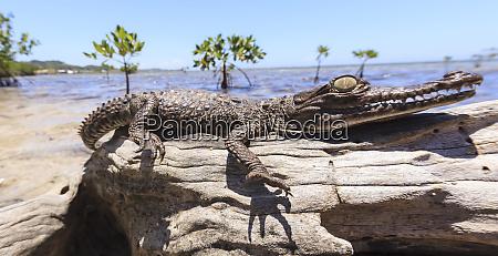 juvenile american crocodile crocodylus acutus rehab