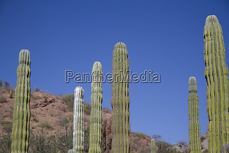 cactus isla san ildefonso baja california