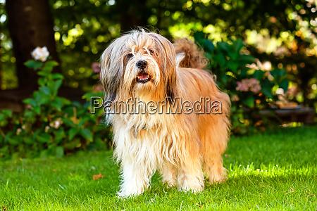 beautiful tibetan terrier dog standing on