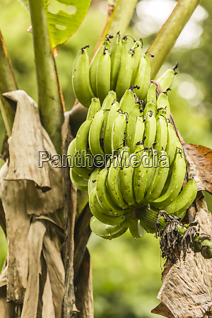 luna nueva rainforest costa rica banana