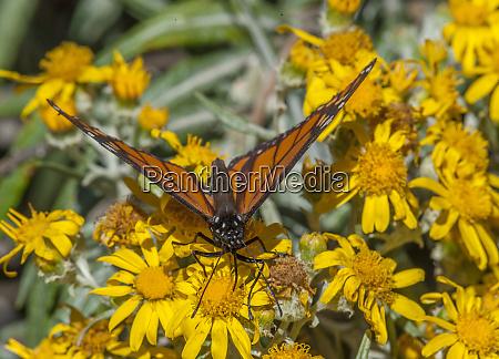 butterfly on wildflower el rosario monarch