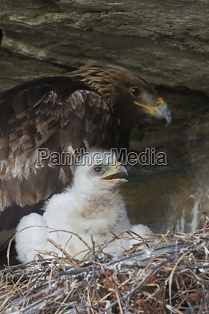 golden eagle with 3 week old