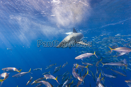 great, white, shark, (carcharodon, carcharias), , large - 27336868