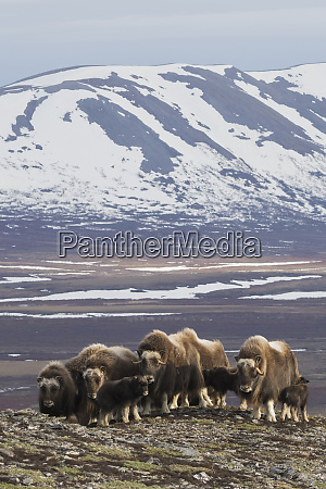 muskox herd arctic habitat