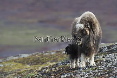 muskox with newborn calf