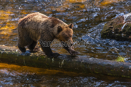 usa alaska tongass national forest grizzly