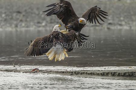 usa alaska chilkat bald eagle preserve