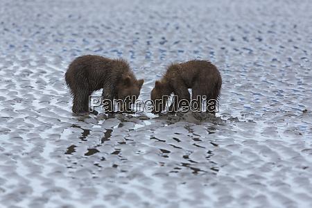 usa alaska two grizzly bear cubs