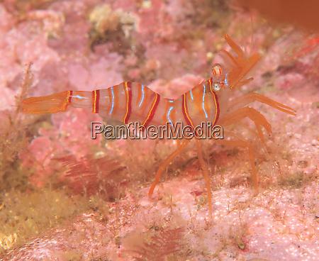 clown shrimp lebbeus grandimanus admiralty island