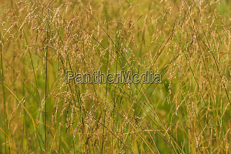 close up of tall grasses with
