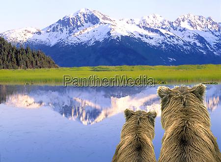 alaska brown bears ursus arctos alaska