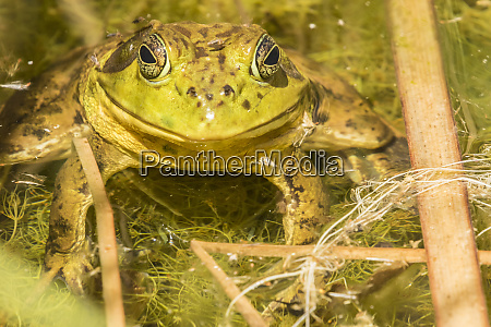 usa arizona desert botanic garden bullfrog