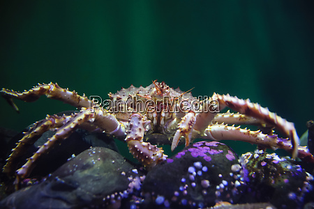 front view of a king crab