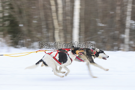 north american championship sled dog races