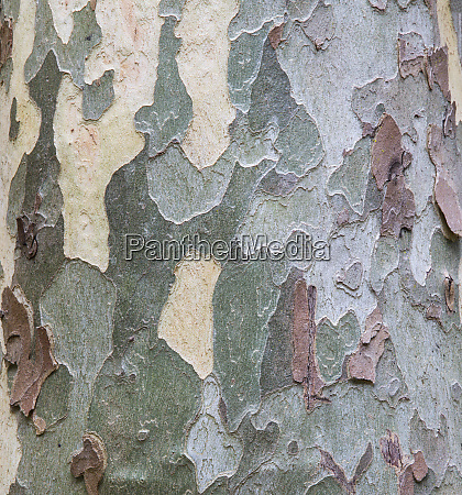 sycamore tree bark design oak creek