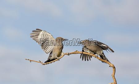 usa arizona buckeye two gila woodpeckers