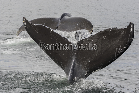 usa, , alaska, , tongass, national, forest., humpback - 27337230