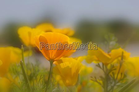 usa arizona mexican gold poppy close