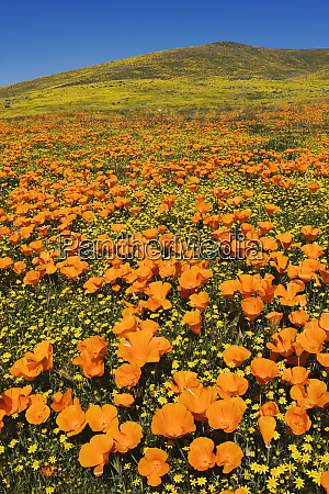 usa california lancaster poppies and goldfields