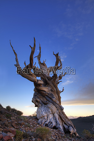 usa california white mountains bristlecone pine