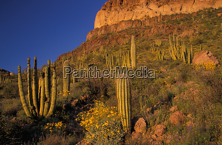north america usa arizona organ pipe
