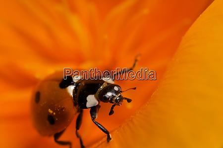 usa california ladybug on a poppy
