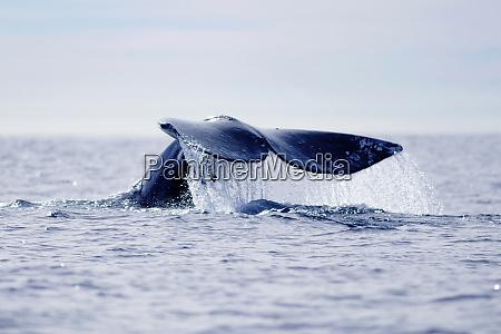 usa california la jolla gray whales