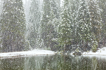 usa california oakhurst fir trees reflect