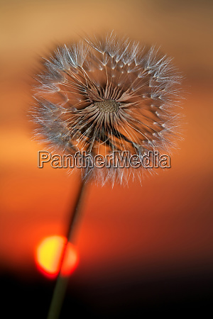 usa california dandelion at sunset