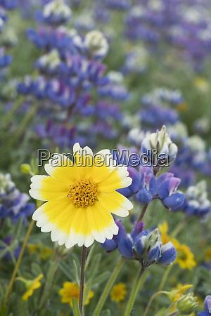 california tidy tip flower layia platyglossa