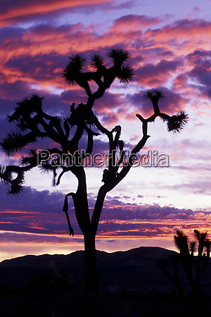 north america usa california joshua tree