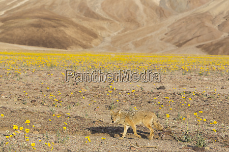 california a coyote canis latrans walks