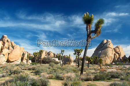 joshua trees yucca brevifolia among the