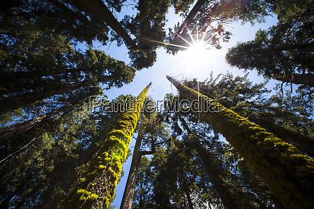 redwood national park california usa skyward