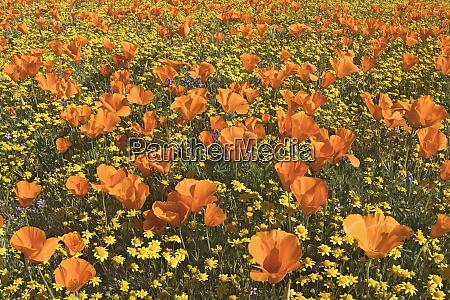 usa california antelope valley state poppy