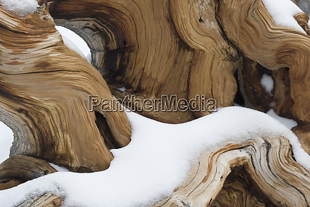 usa california white mountains upturned bristlecone
