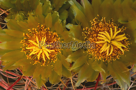 barrel cactus ferocactus cylindraceus close up