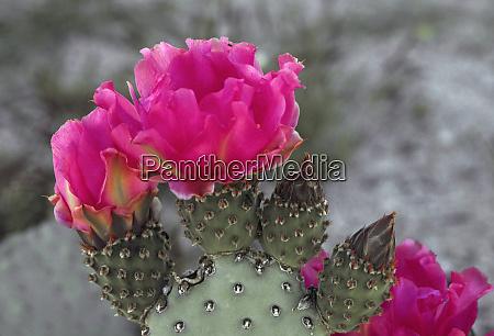 beavertail cactus opuntia basilaris in bloom
