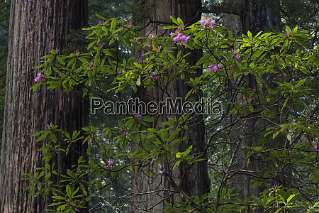 usa california costal redwood sequoia sempervirens