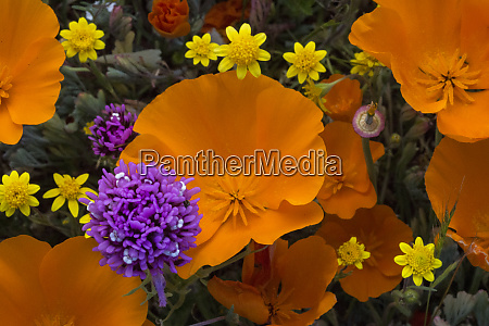 usa california california poppies eschscholzia californica