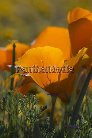 usa california detail of california poppy