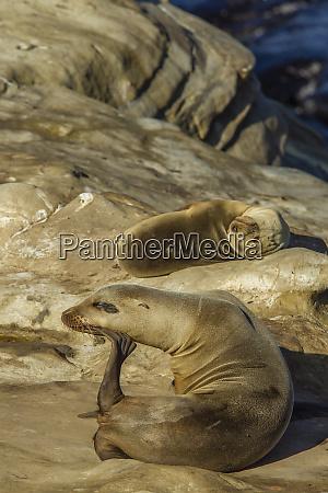 california sea lion hauled out on
