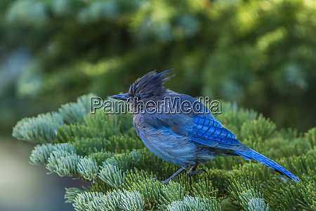 stellers jay perched on a fir