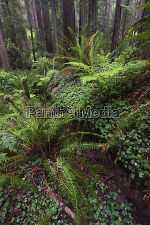 usa california redwood trees ferns and