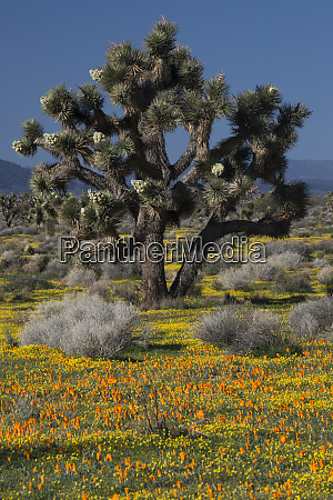 usa california mojave desert joshua trees
