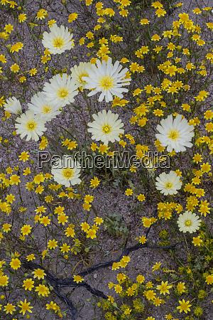 usa california goldfields lasthenia californica and
